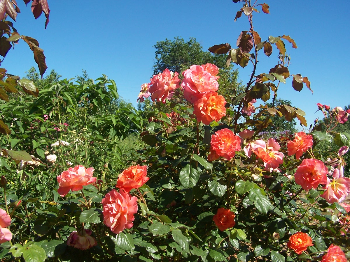 roses Westerland