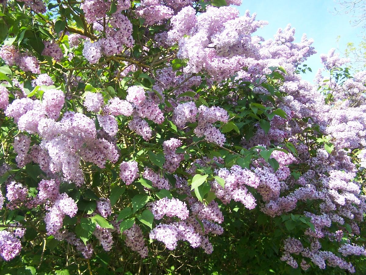 parffum du lilas