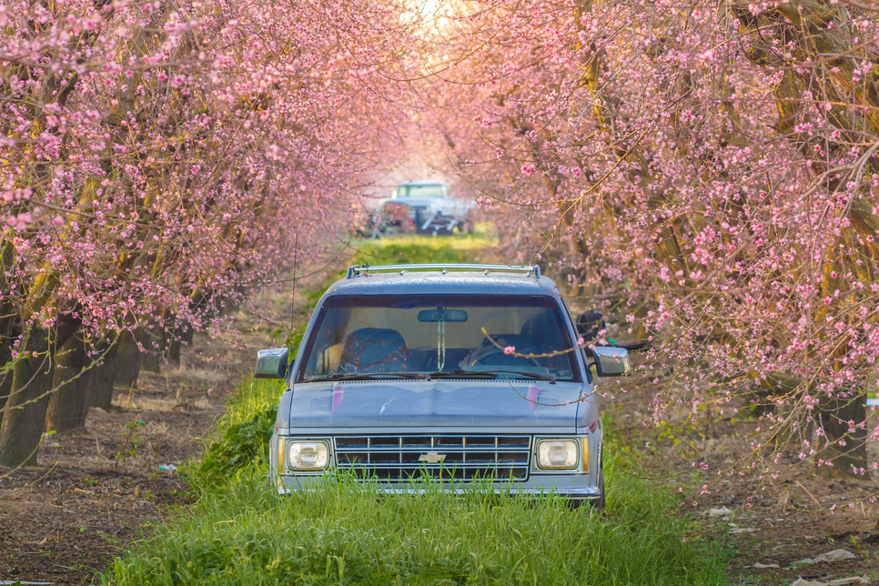 Blooming Almond Trees