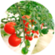 ONE LIFE tomato01.png
