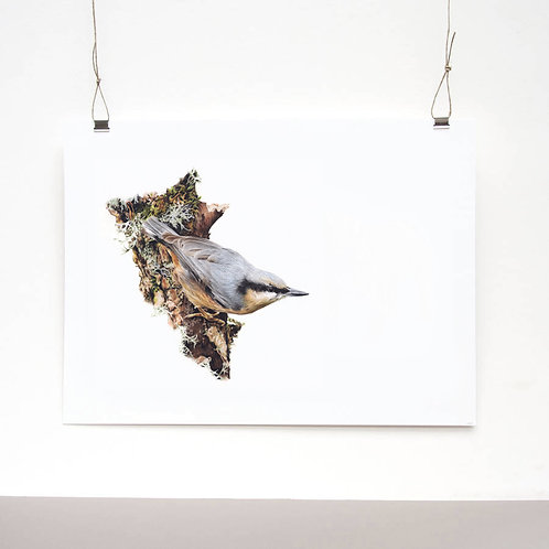 Nuthatch Limited Edition Print