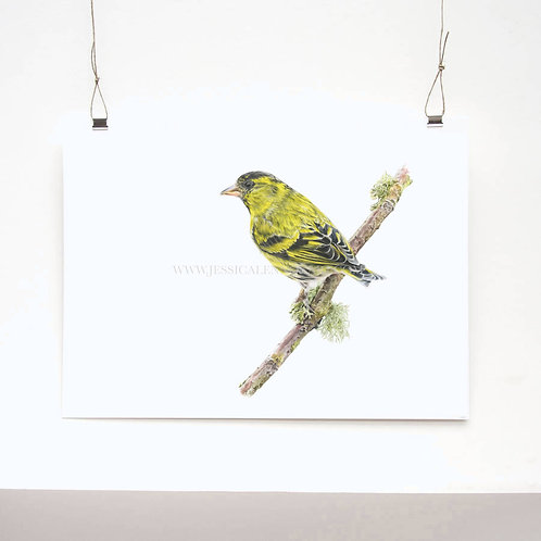 Siskin Limited Edition Print