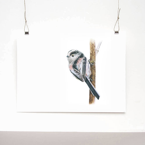 Long Tailed Tit Study Limited Edition Print
