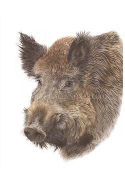 SOLD Wild Boar