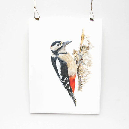 Great Spotted Woodpecker Study Limited Edition Print