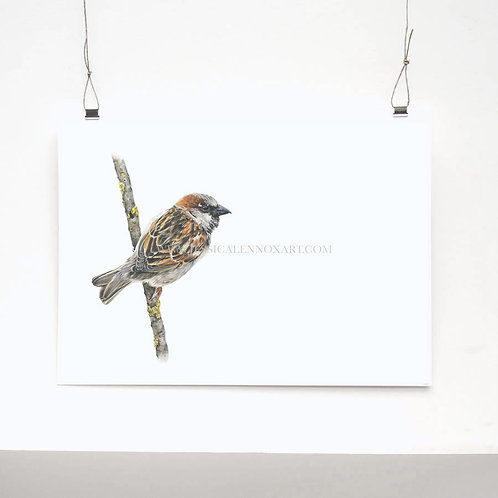 House Sparrow Limited Edition Print
