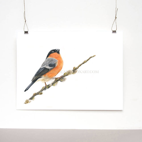 Bullfinch Study Limited Edition Print
