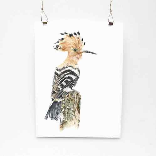 Hoopoe Study Limited Edition Print