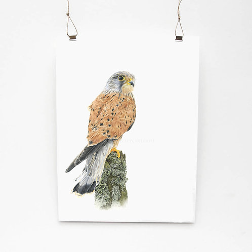 Kestrel Study Limited Edition Print