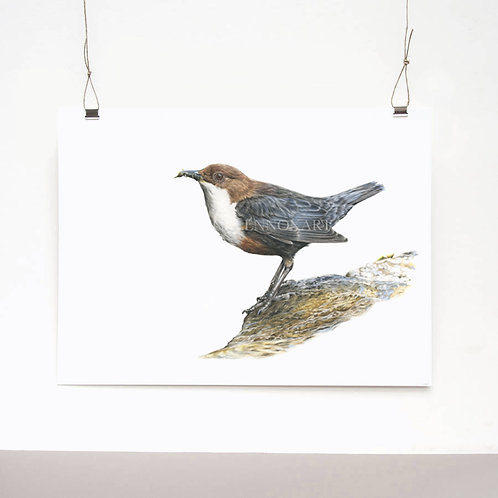 Dipper Study Limited Edition Print