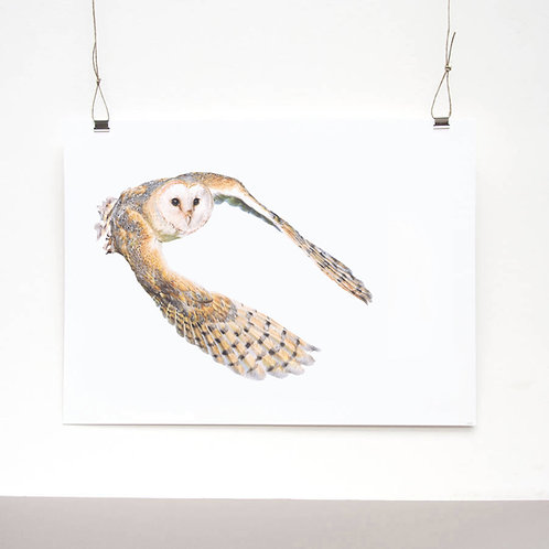 Barn Owl Study Limited Edition Print