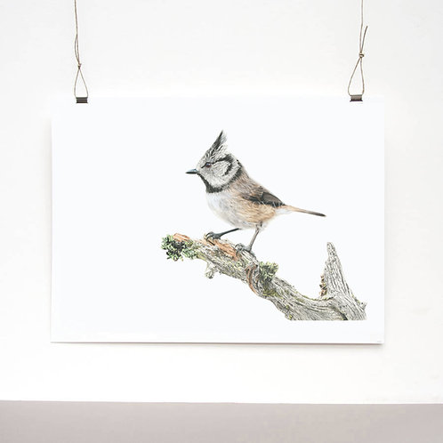 Crested Tit Study Limited Edition Print