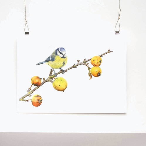 Blue Tit Study Limited Edition Print