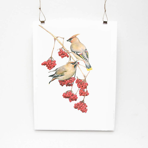 Waxwings on Rowan Limited Edition Print