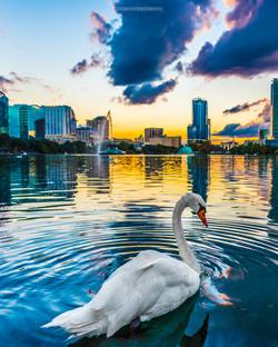 Swan & The City Beautiful