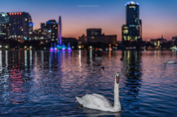 Night Life Swan