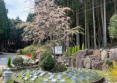 しだれ桜の樹木葬(個別葬).jpg