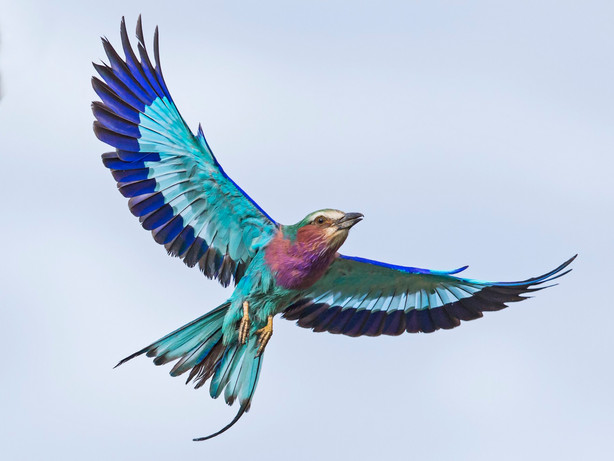 Lilac breasted roller.jpg
