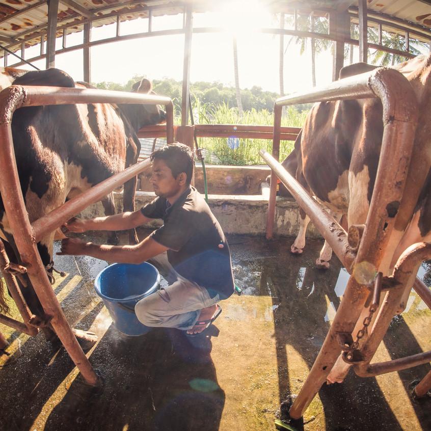 Cow Milking At Sinar Eco Resort