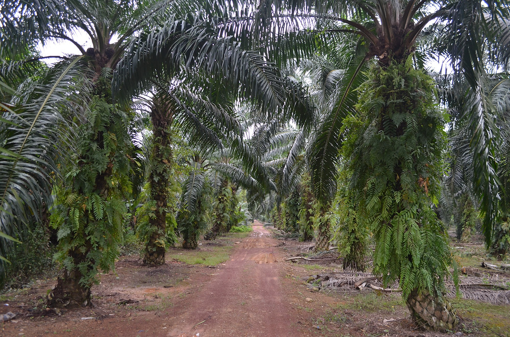 Surrounded By Oil Palm Plantations
