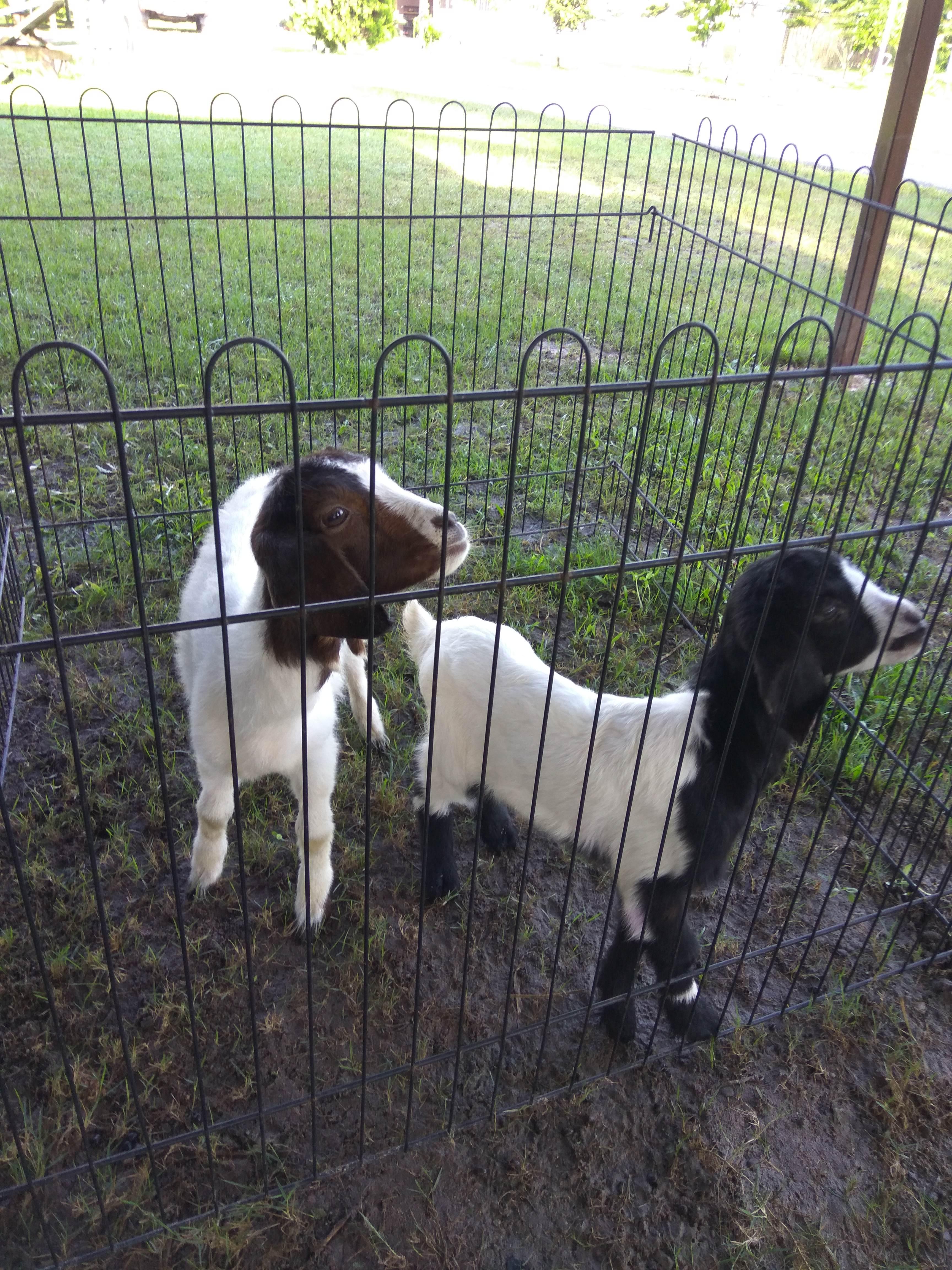 animal encounter - goat