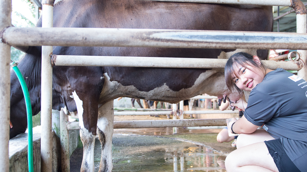 Sinar Eco Resort Cow Milking
