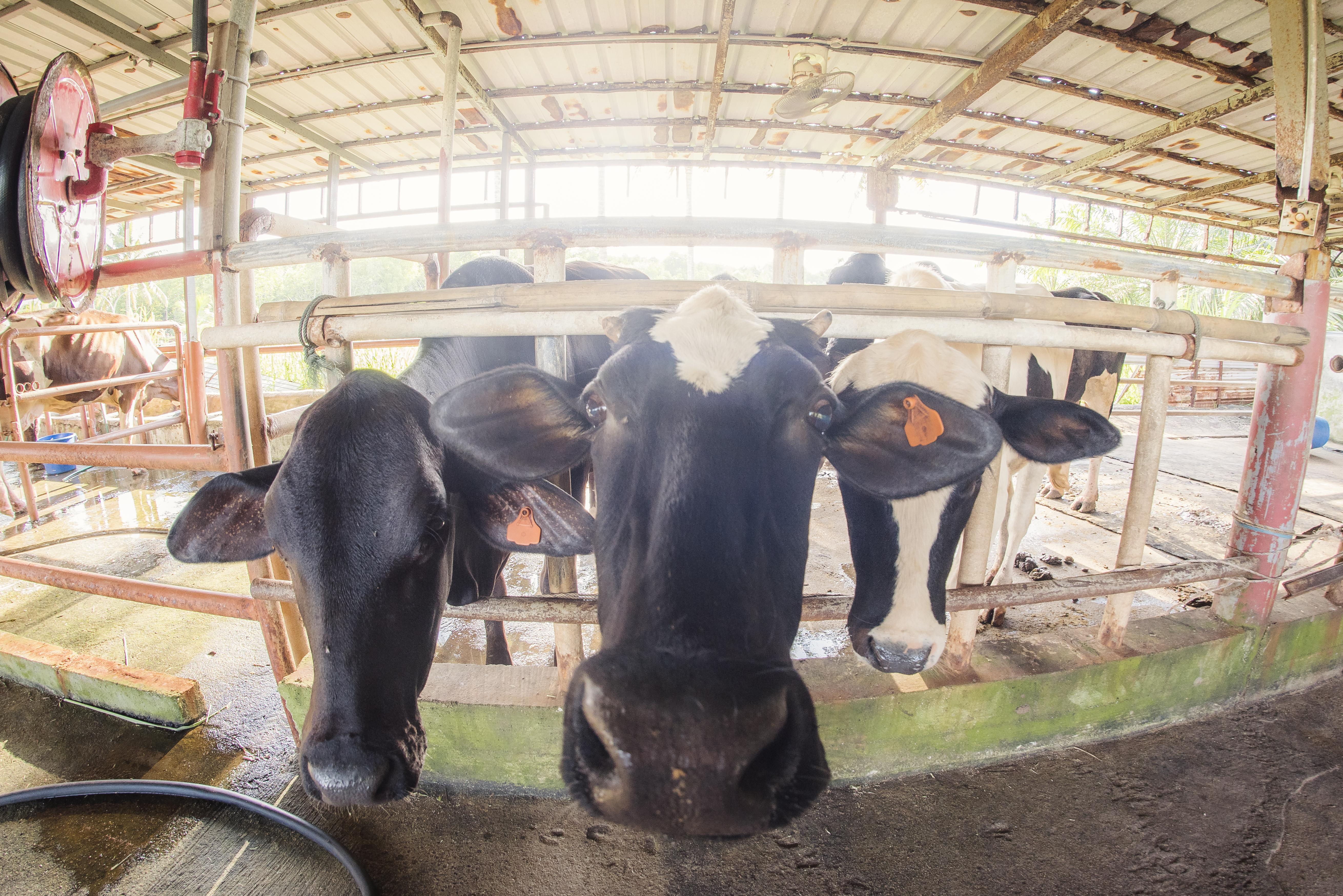 animal encounter - cow
