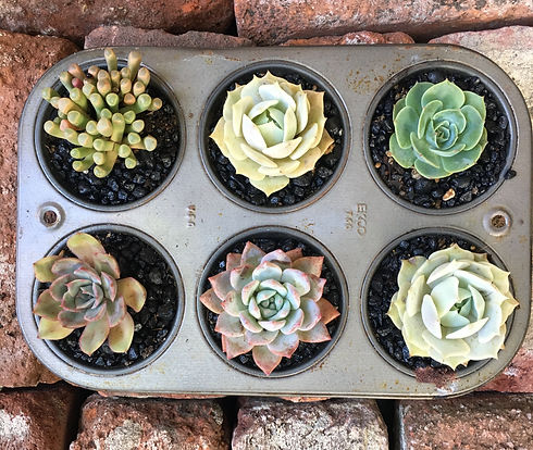 Muffin%20tin%20of%20succulents_edited.jpg