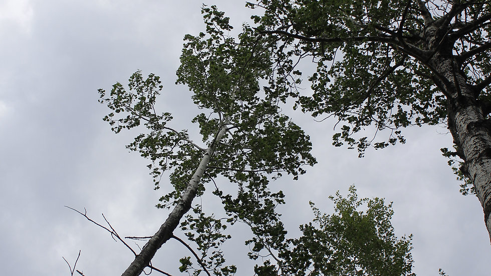A Storm Behind Leaves