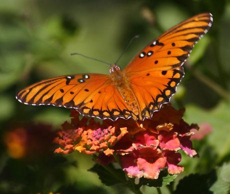 butterfly crop.jpg