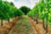 tidy vineyard (1).jpg