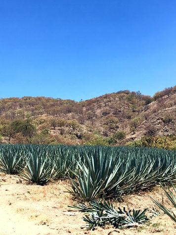 Campos de Tequila