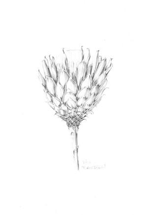 Protea Web.jpg