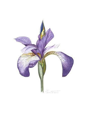 Iris recent big.jpg