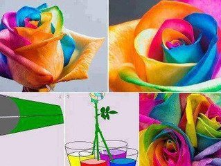 The Rainbow Rose