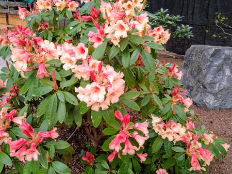 Rhododendruns in April