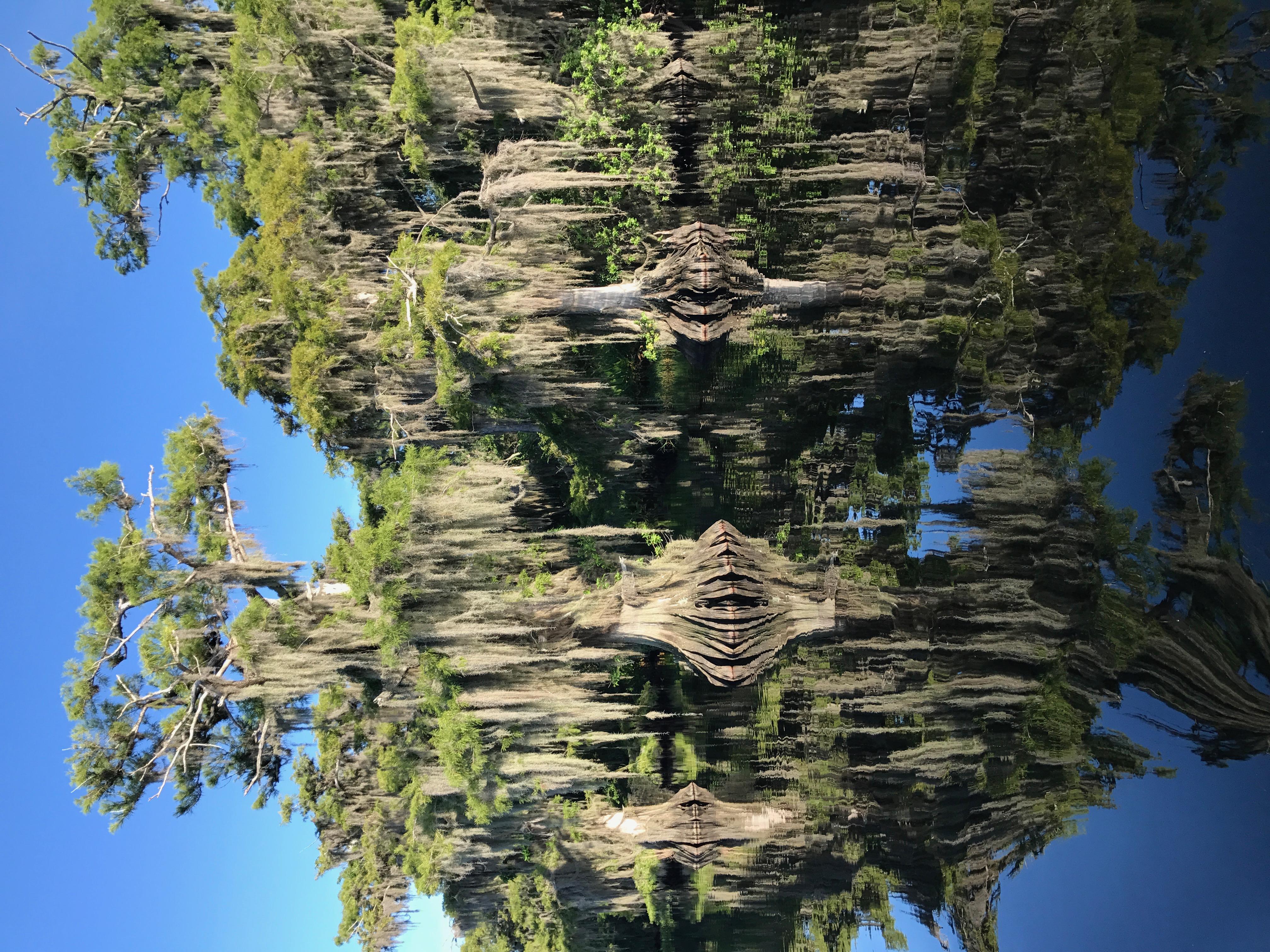 Blue Cypress