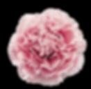 nobbio pink gelato.png