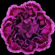 nobbio violet.png