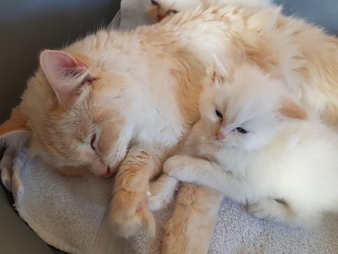 Lilly - Flamepoint Ragdoll & Her Kitten