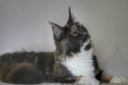 Lolli - Our Blue Torti & White Maine Coon
