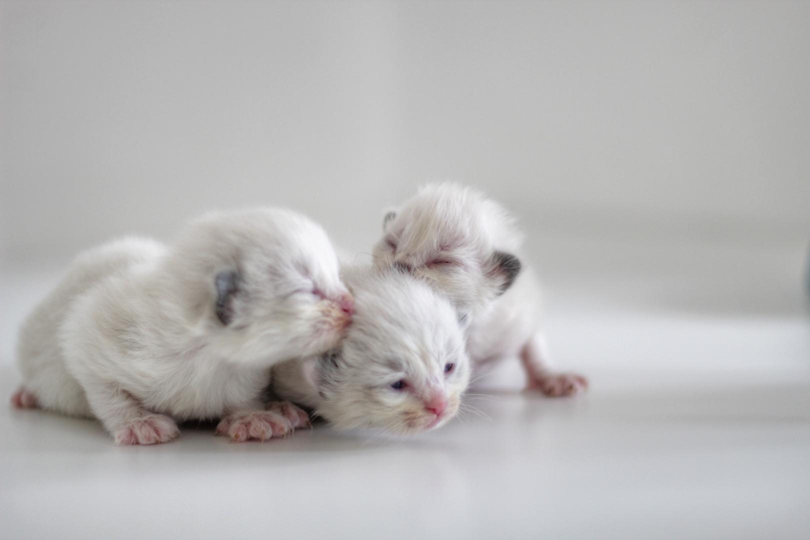 Sealpoint Ragdoll Kittens