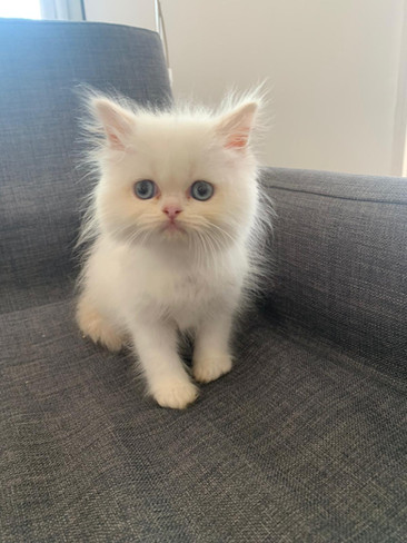 Flampoint Persian