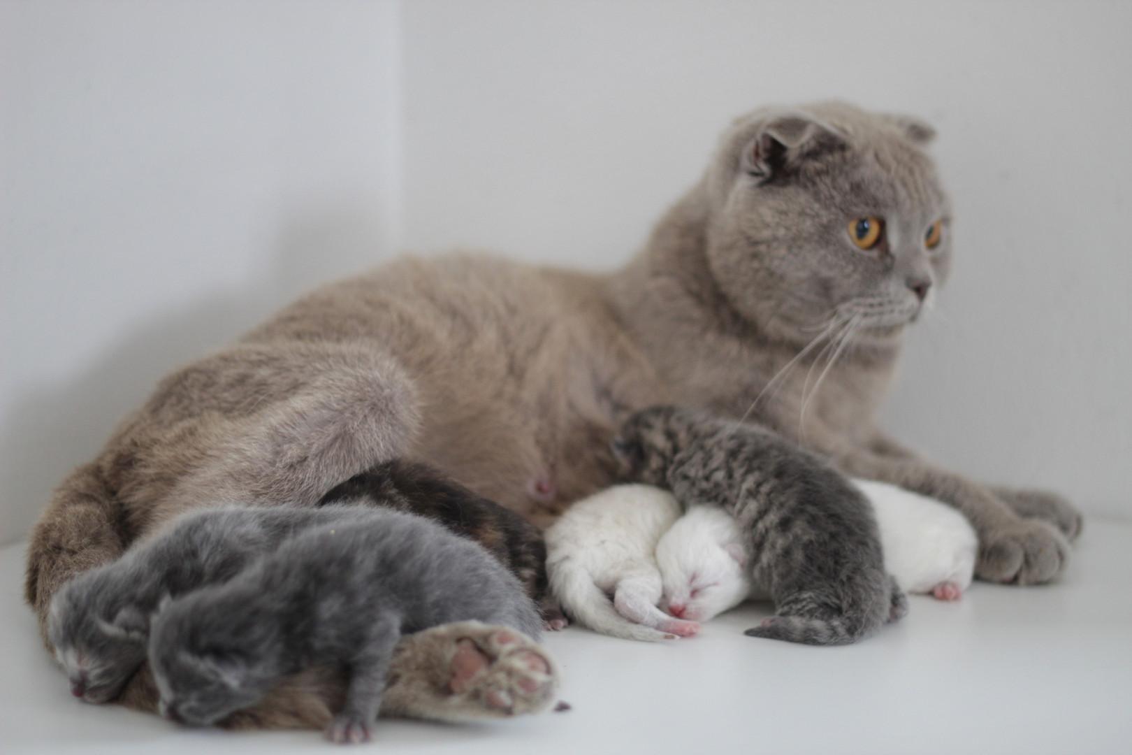Lotus - Our Blue Scottish Fold & her Kittens