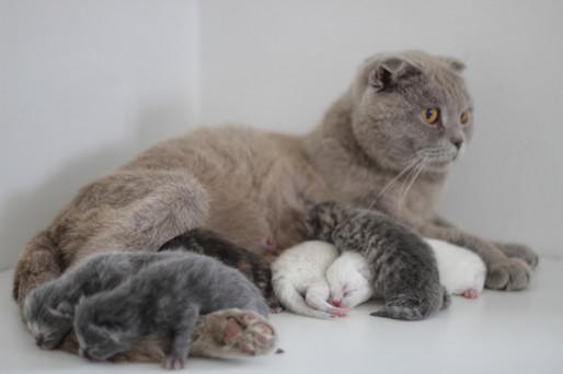 Lotus - Our Scottish Foldm & Her Kittens