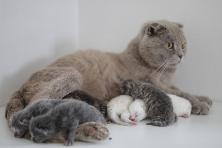 Lotus - Our Blue Scottish Fold & her Kittens