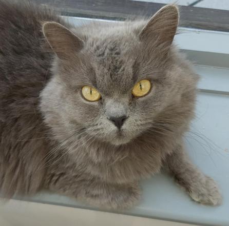 Lola - Our Blue British Longhair