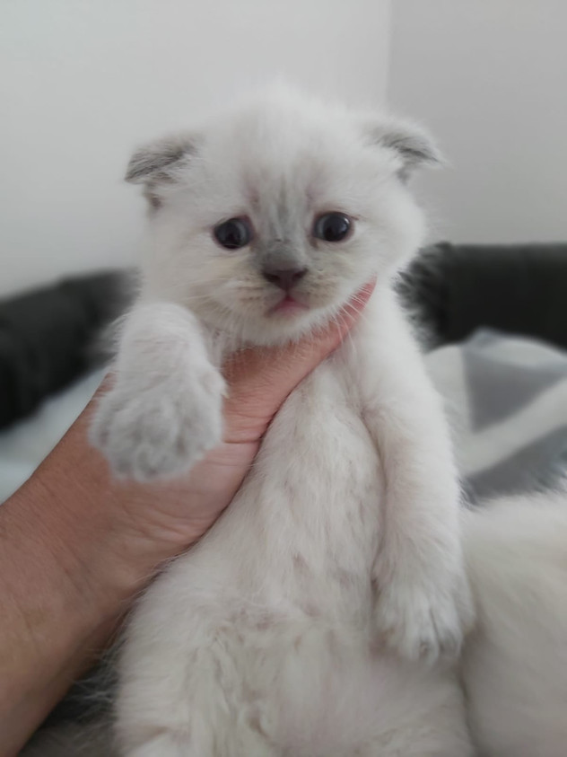 Bluepoint Scottish Fold