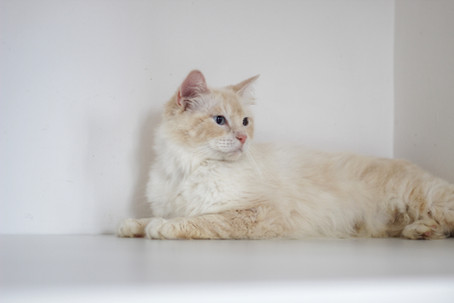 Lilly - Our Flamepoint Ragdoll
