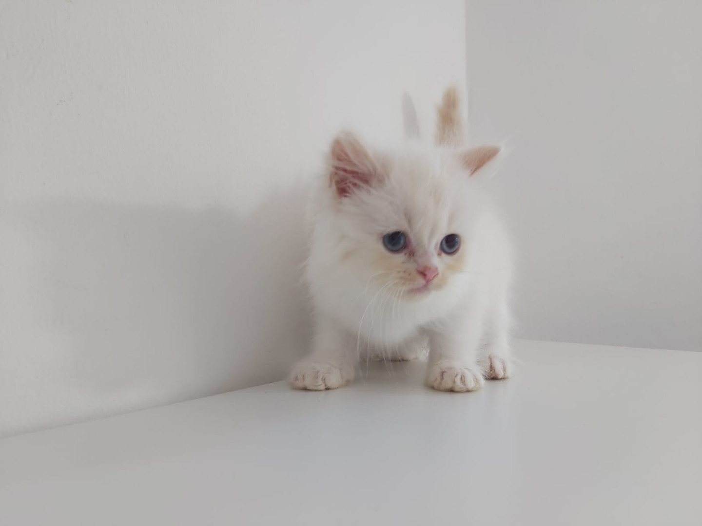 Flamepoint Persian Cross